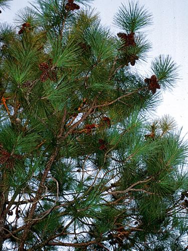 Pino caribe (Pinus caribaea) | ITTO