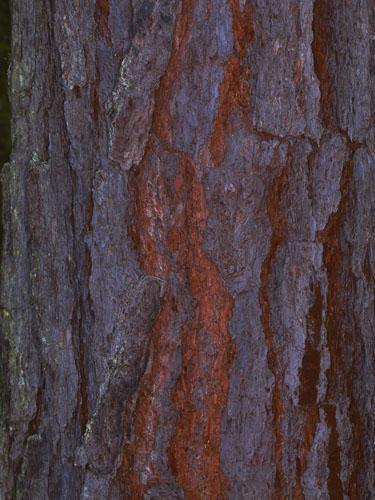 Pino ocote (Pinus oocarpa) | ITTO